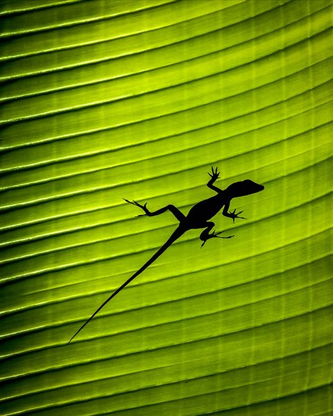 antonyz-lizard-gecko-palm-leaf-silhouette