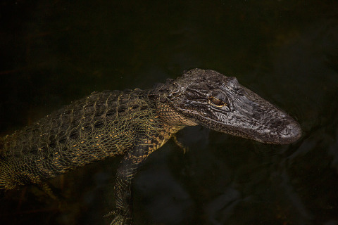 Young America Allgator Everglades Florida USA
