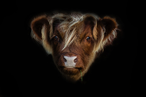 Baby cow calf head portrait