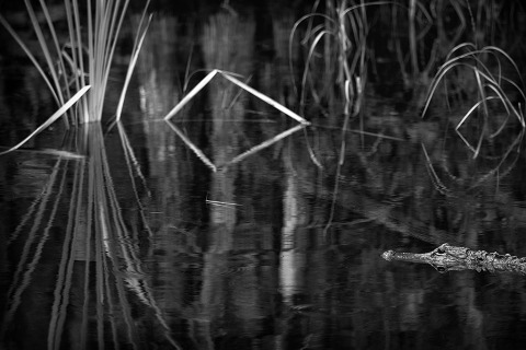 American Alligator and Sawgrass in the Florida Everglades Black and White Landscape