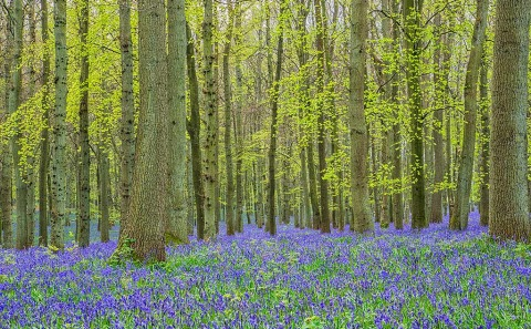 British Bluebells in the Forest in the Sunshine in England Landscape