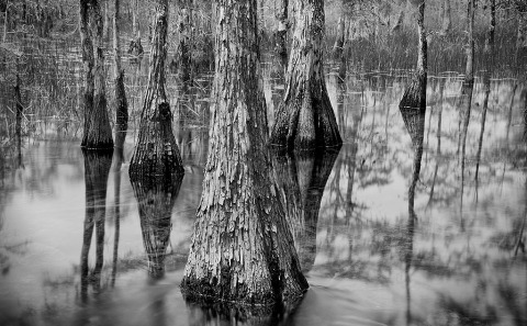 Close up of Cypress Trees in the Florida Everglades in America Long Exposure Landscape Photograph in Black and White