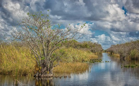 Lone tree in the waters of the Florida Everglades and sawgrass