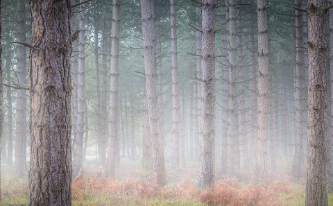 Pine Trees in the morning mist in a forest in England