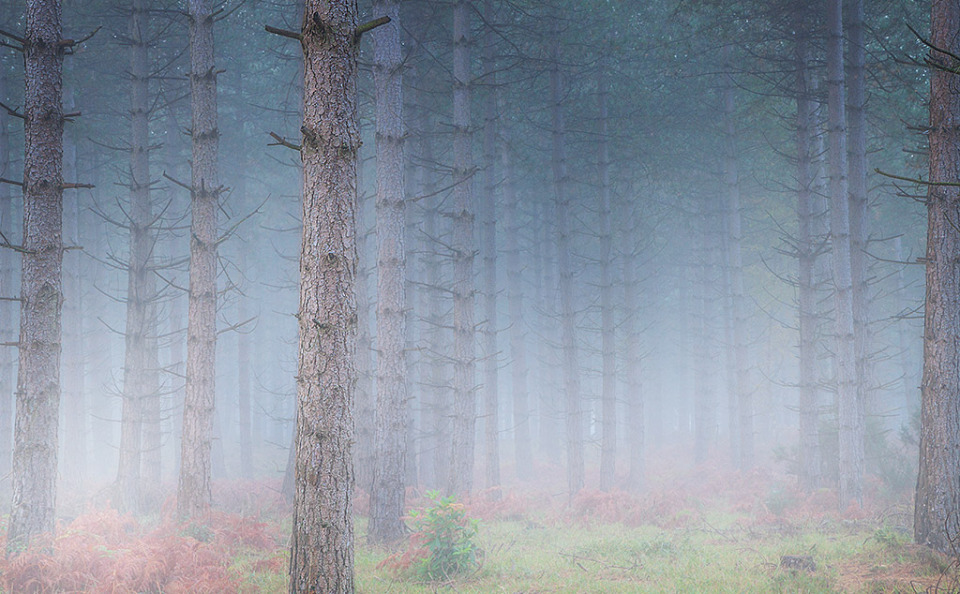 Dense Mist in the Pine Tree Forest In England