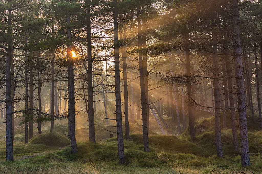 Sun Beams Shining through the Pine Trees at Dawn in the Forest in England