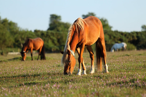 Palomino Horses Feeding in the Sunshine