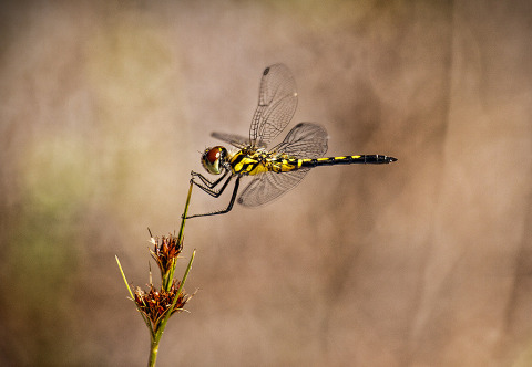 Yellow Dragonfly Resting On Plant Nature Macro