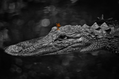 American Alligator with red Dragonfly in the Everglades