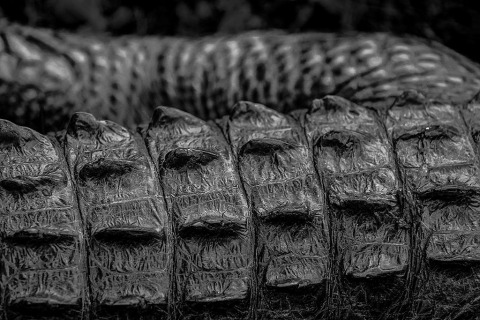 american alligator skin close up