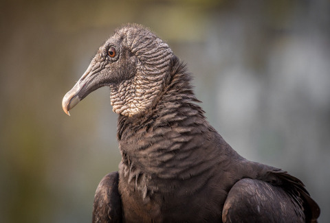 America Vulture in the Florida Everglades Portrait
