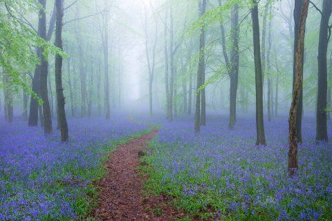 antonyz landscape bluebells forest mist fog