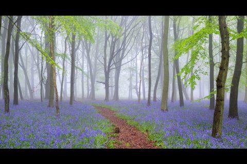 antonyz landscape bluebells forest mist fog bird