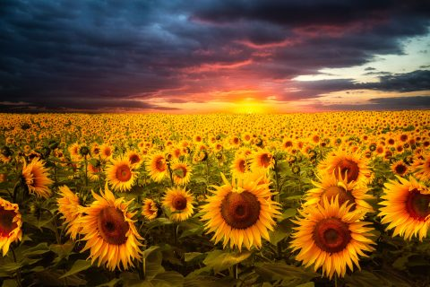 antonyz landscape sunflower fields red sky sunset