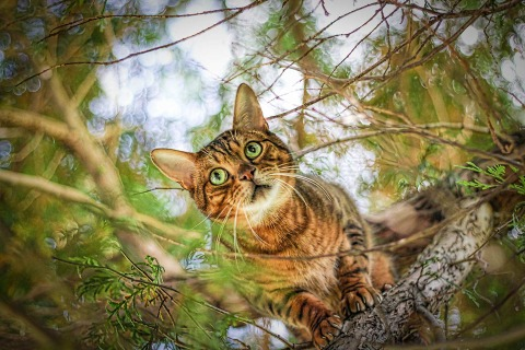 Ginger striped Domestic Cat in a Tree Staring