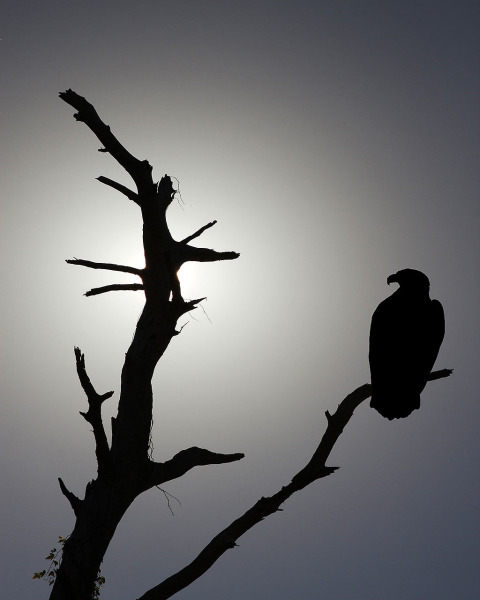 Bald Eagle sitting in dead tree silhouette in America