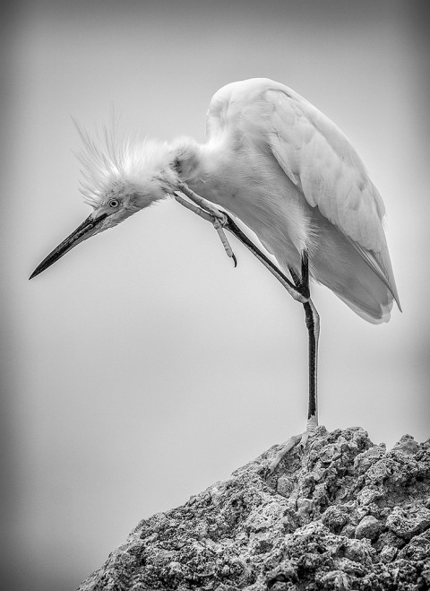 White Egret Posing standing on one leg scratching head