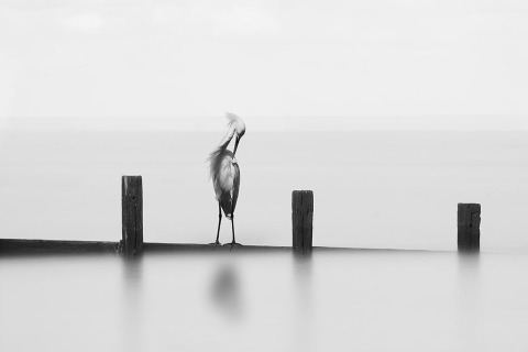 White Egret Posing standing on a wooden Fence in the water