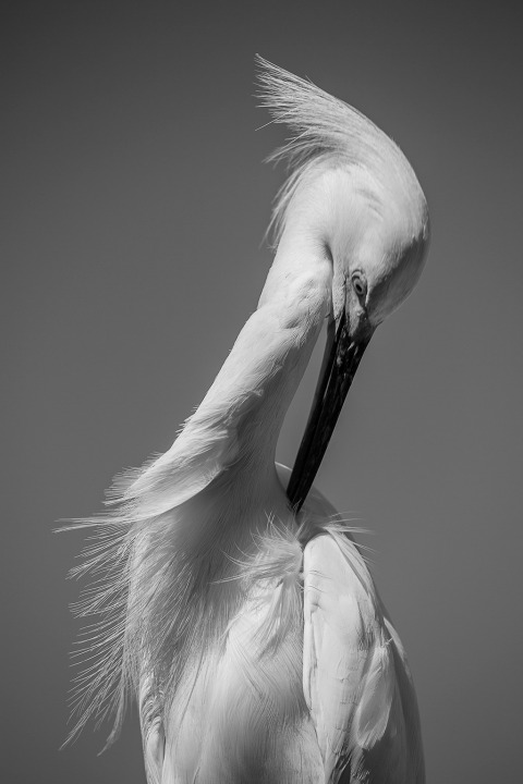 White Egret grooming portrait in black and white