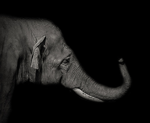 Elephant Portrait with his trunk in the air