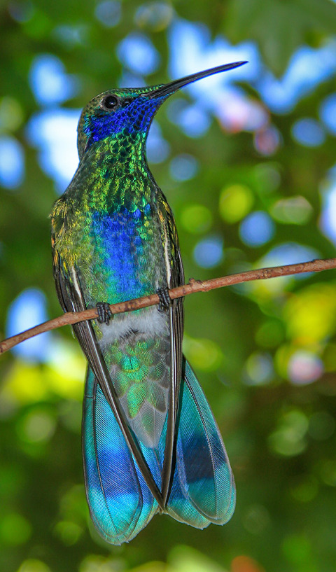 Blue and Green Bright Hummingbird sitting in a tree close up