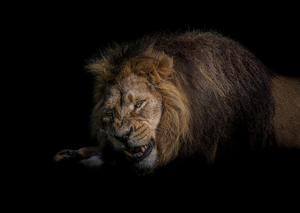 Nature Lion Big Cats Fury Angry Portrait Monochrome: Wildlife And Animal Photography