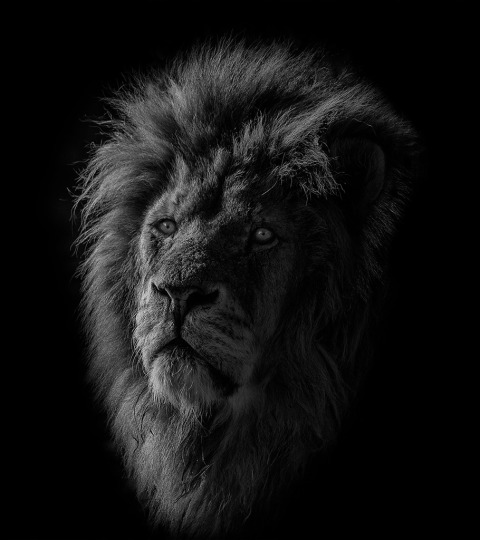 Male Lion Big Cat head portrait photo