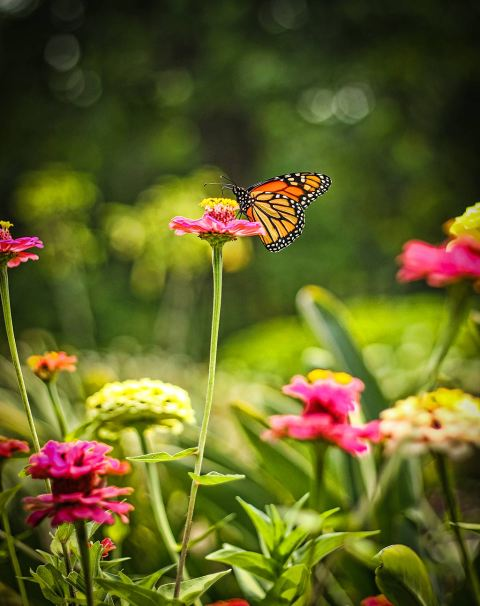 Monarch Butterfly on pink flower Nature photography