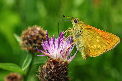 Moth Butterfly feeding nectar form Thistle Flower Macro Nature photography