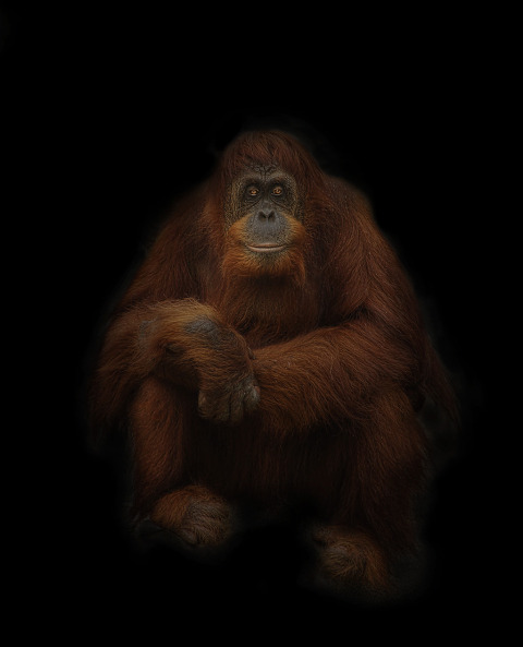 orangutan monkey portrait photo