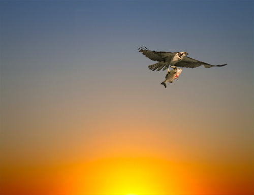 American Osprey with Fish in Talons flying a dawn sunrise