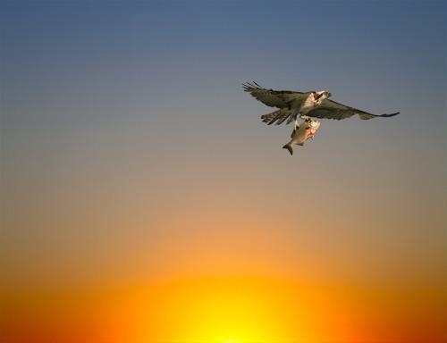 American Osprey with Fish in Talons flying a dawn sunrise