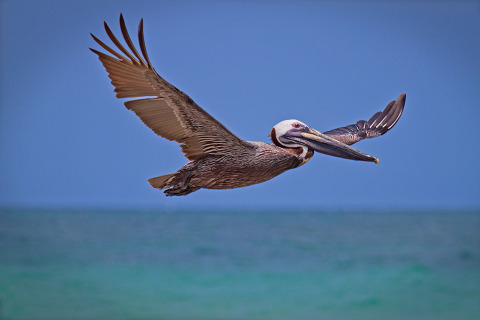 American Pelican Flying over tropical blue ocean