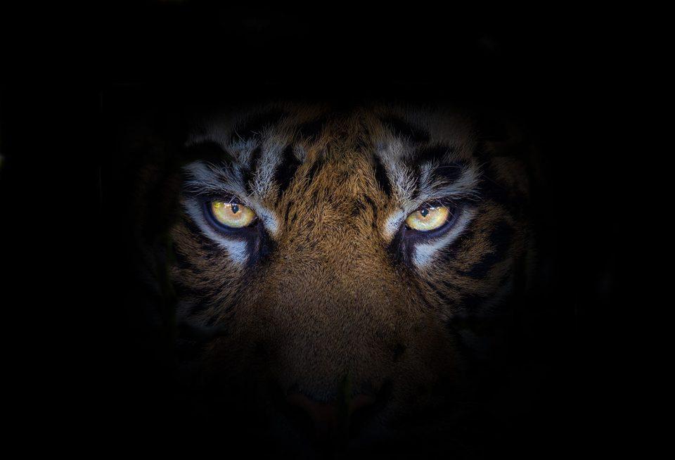 Staring Tiger Eyes