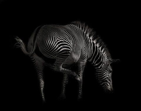 zebra jumping portrait