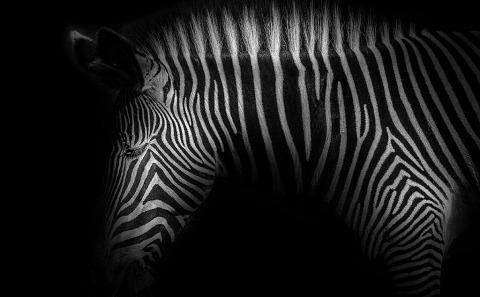 Zebra Stripes head portrait photo
