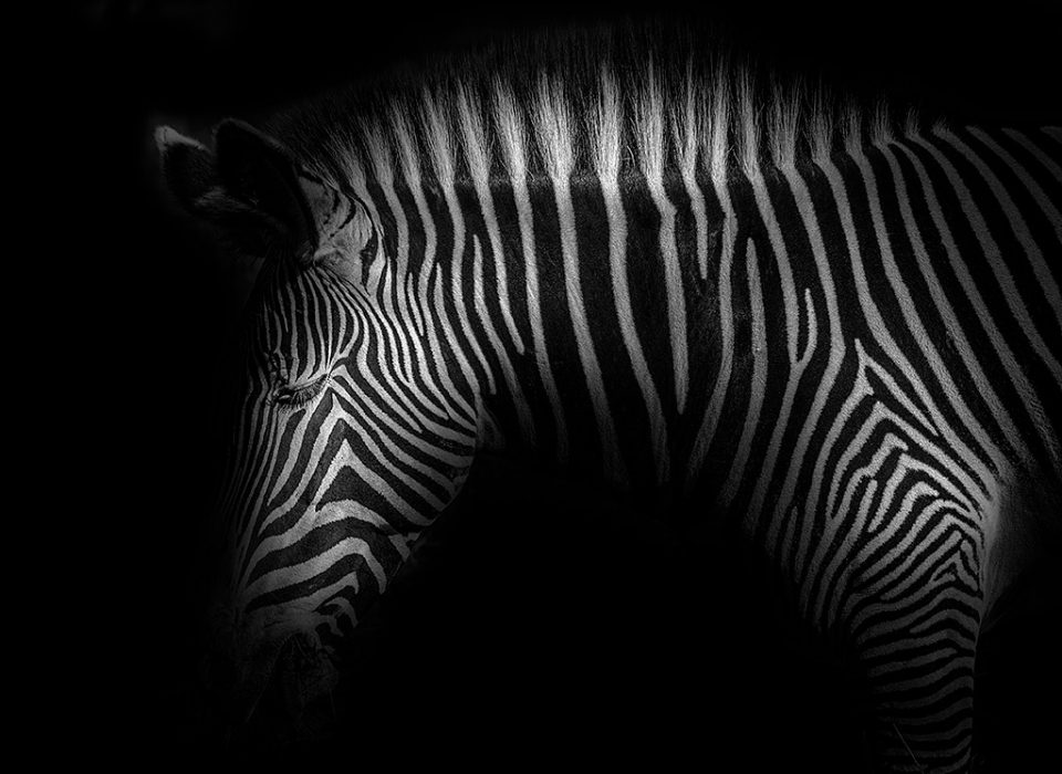 Zebra Stripes head portrait photo
