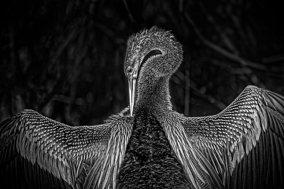 Portrait of an Anhinga, snakebird also know as the American Darter in the Florida Everglades USA in Black and white