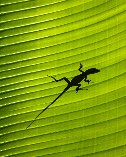 Wildlife Silhouette of gecko lizard on a green tropical waxy palm leaf in the jungle