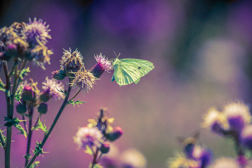 cabbage butterfly with purple thistle flowers in shallow depth of field