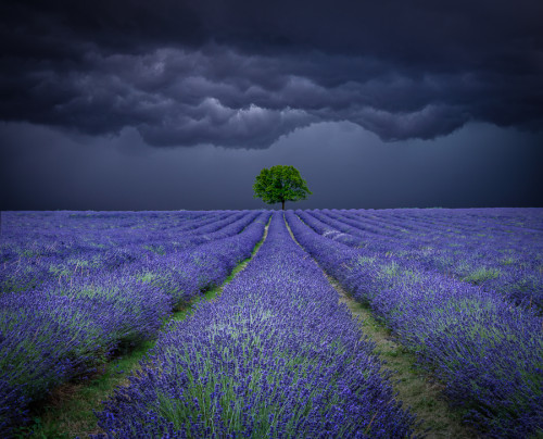 Lone tree in a lavender field with a stormy sky landscape with deep depth of field