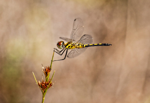 close up of a yellow dragonfly with shallow depth of field