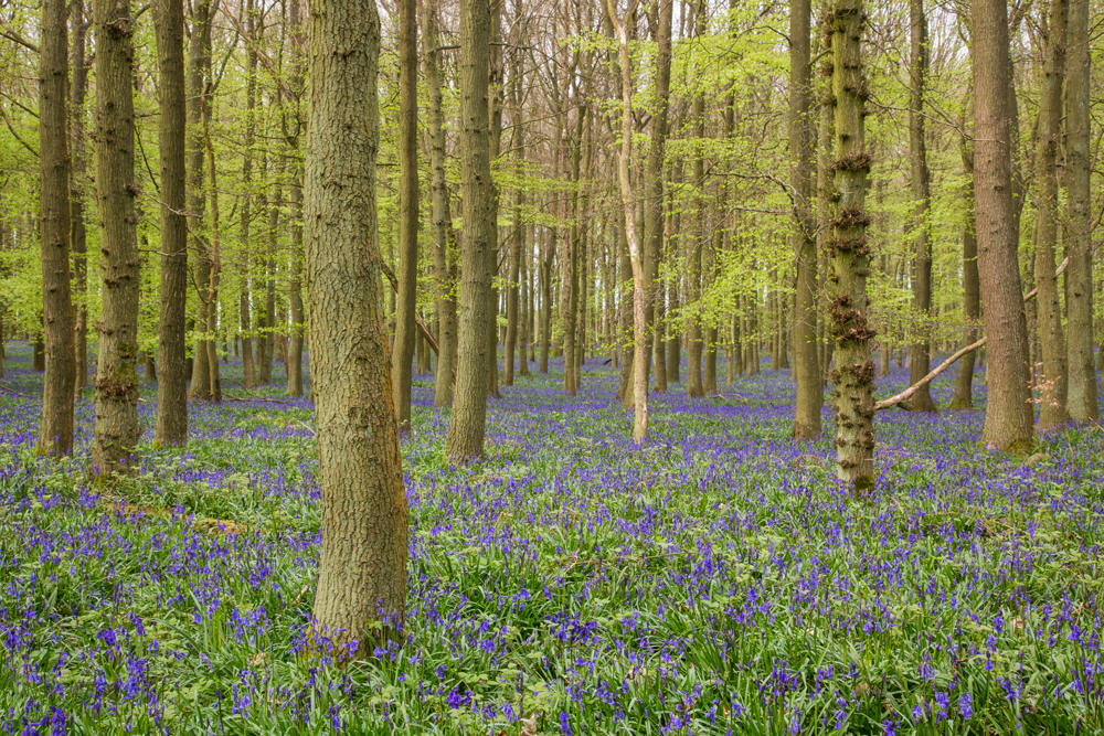 bluebells in spring woodland in England white balance correct