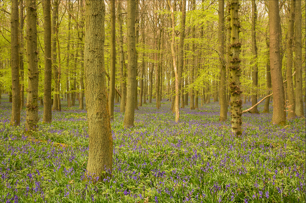 bluebells in spring woodland in England white balance wrong