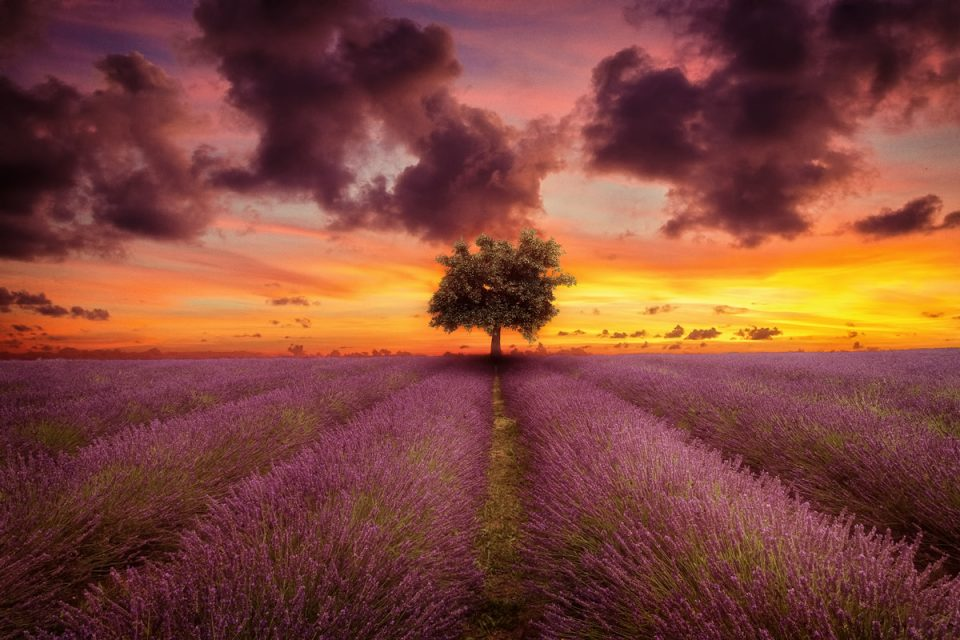 Lone-oak-tree-lavender-field-sunset
