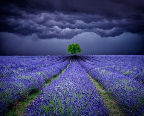 lone-tree-lavender-field-storm-sky-landscape