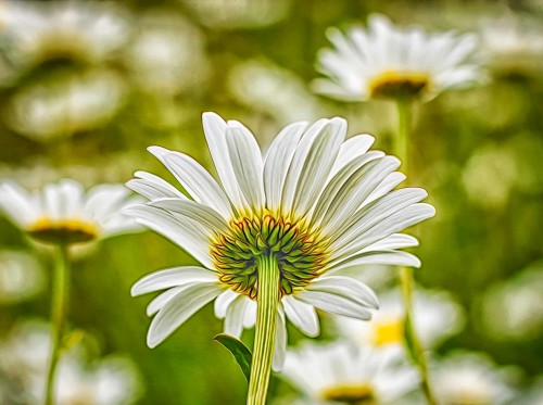 daisy-flowers-viewed-below-composition-example