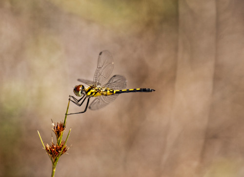 dragonfly-composition-blurred-backround