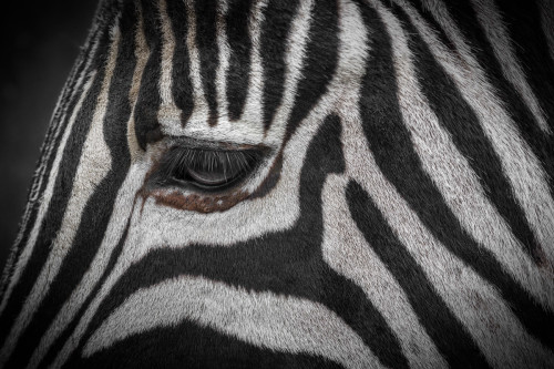zebra close up fill frame compoition example animal wild stripes