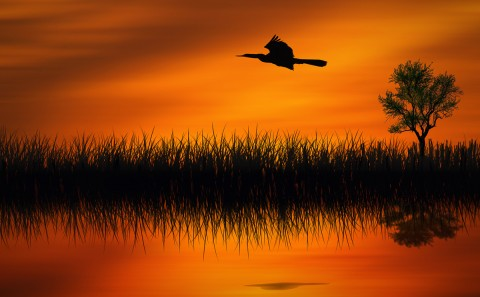 cormorant flying at sunset in the Everglades Florida with orange sky sunset